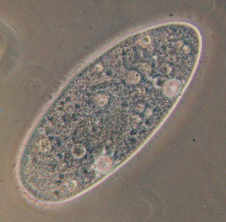 Paramecium aurelia. Reino Protista. Foto: Wikimedia Commons / CC-BY-SA 3.0