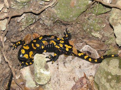 Salamandra. Foto: Lior Fainshil [Public domain], via Wikimedia Commons