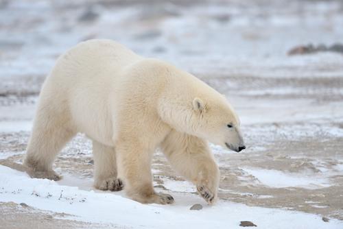 Tudo sobre os Ursos Urso-polar-camuflagem
