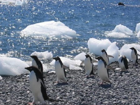 Pinguins de Adélia na Antártica. Foto: CIA World Factbook [domínio público]