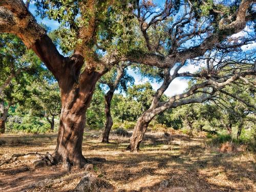 Sombreiros na Floresta Mediterrânea. Foto: Algefoto / Shutterstock.com