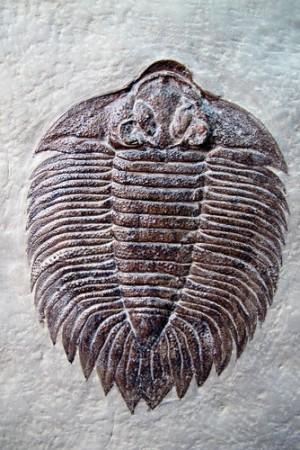 Fóssil de um trilobita. Foto: Dinoton / Shutterstock.com