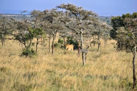 Leão em savana africana. Foto: lewald / Shutterstock.com
