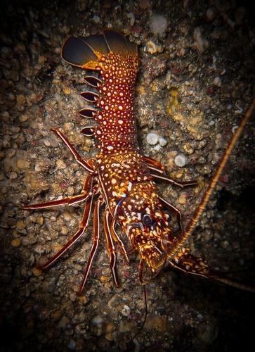A lagosta é um crustáceo. Foto: Zerosub / Shutterstock.com