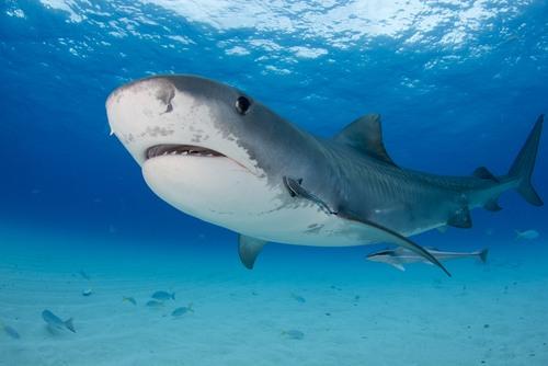 Tubarão tigre. Foto: Matt9122 / Shutterstock.com