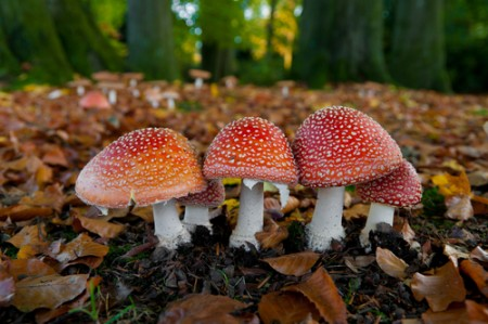 Amanita muscaria, um basidiomiceto. Foto: Hans Engbers / Shutterstock.com