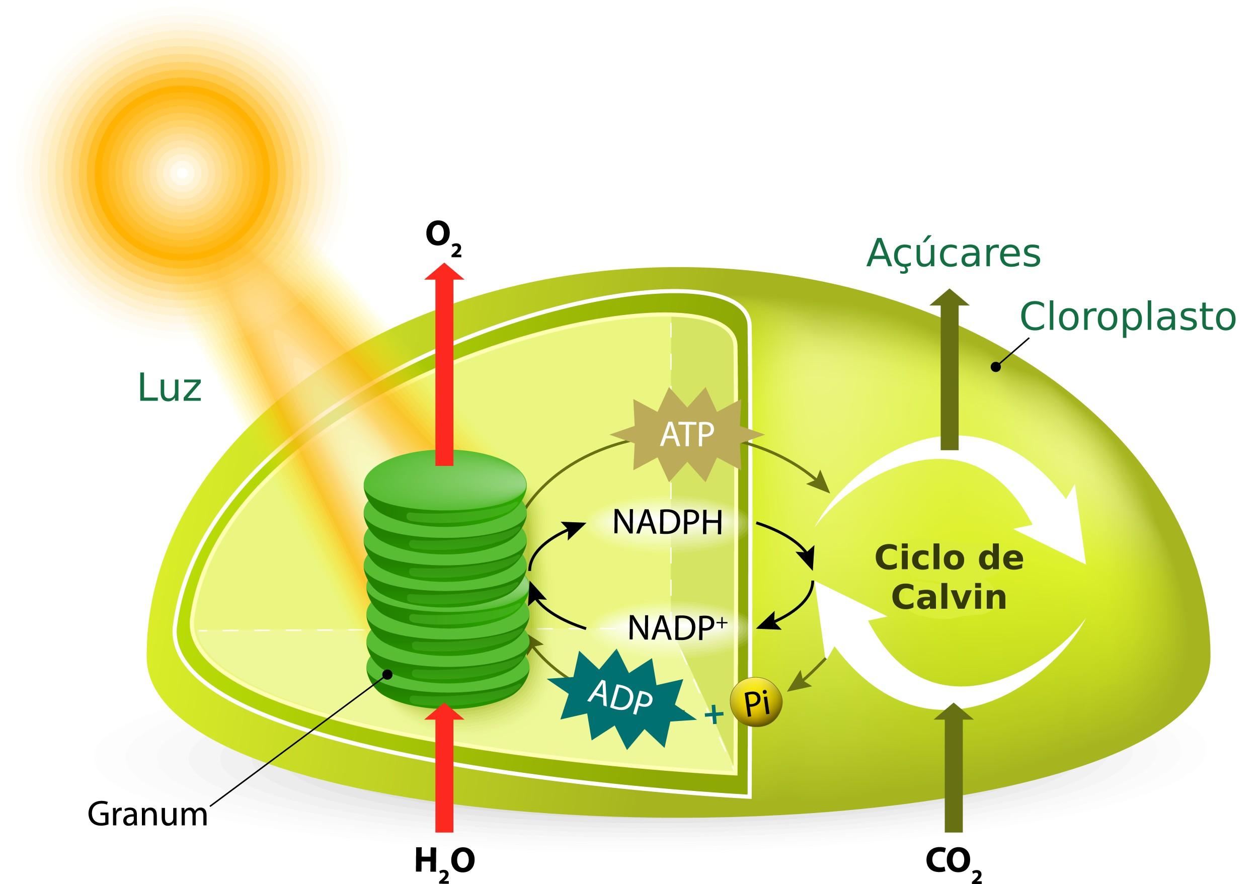 Fotossíntese - reações, etapas, ilustrações - Biologia das plantas -  InfoEscola