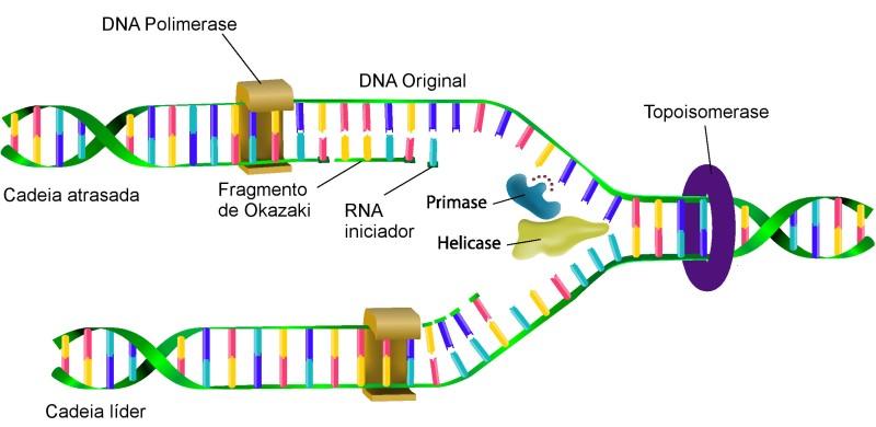 Processo de replicação de DNA. Ilustração: Designua / Shutterstock.com [adaptado]