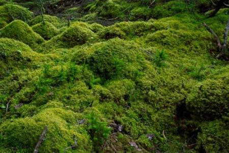 Musgos são representantes das Briófitas. Foto: tomoki1970 / Shutterstock.com