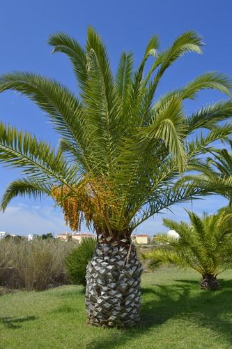 Cycas revoluta, uma gimnosperma do filo das cicadófitas. Foto: Peter Etchells / Shutterstock.com