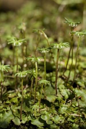 Marchantia polymorpha. Foto: dabjola / Shutterstock.com