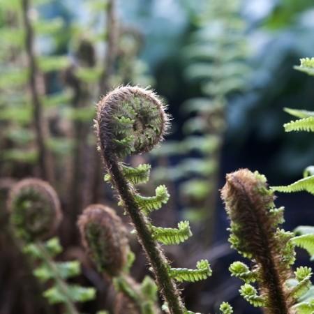 Fronde (folha jovem) de uma samambaia. Foto: Elena Rostunova / Shutterstock.com