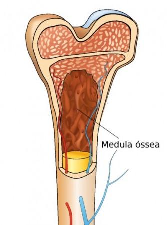 Medula óssea. Ilustração: Yoko Design / Shutterstock.com