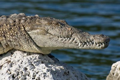 Crocodilo. Foto: Judd Patterson, National Park Service biologist [Public domain], via Wikimedia Commons