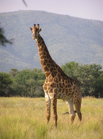 Girafa. Foto: Miroslav Duchacek [GFDL or CC-BY-SA-3.0], via Wikimedia Commons