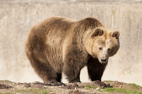 Caracteristica urso marrom do