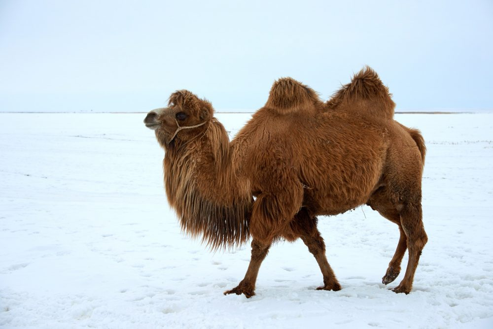 falando sobre os camelos Camelo-1023570808-1000x668