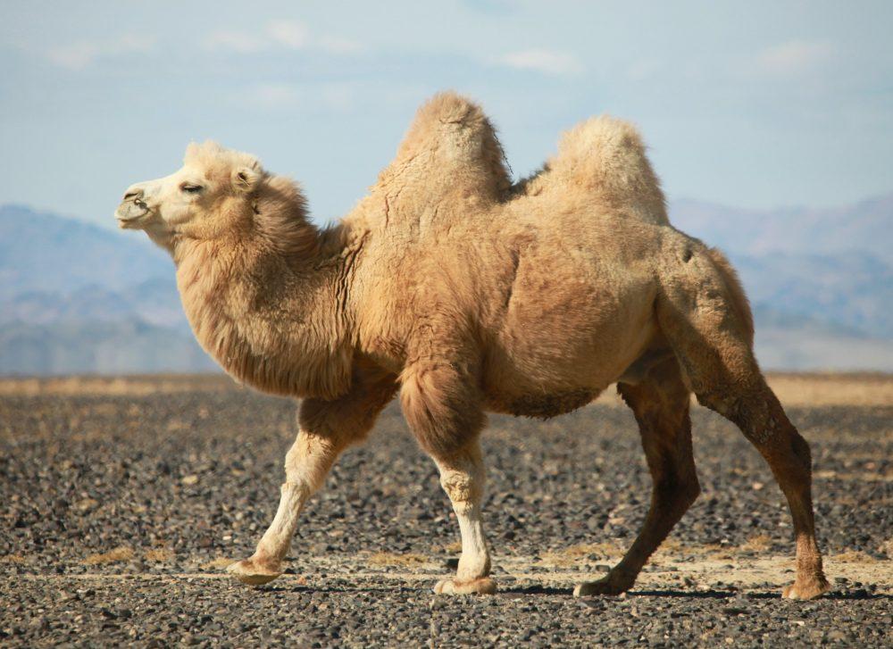 falando sobre os camelos Camelo-127941365-1000x727