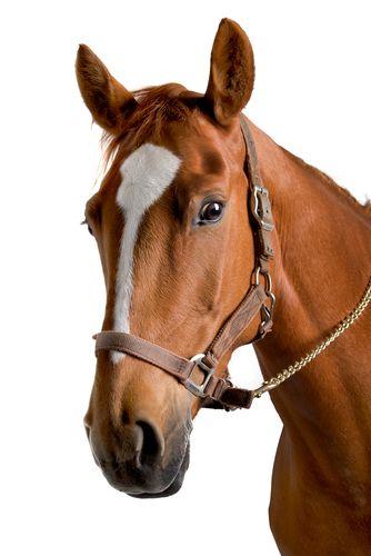 Cavalo. Foto: Erik Lam / Shutterstock.com
