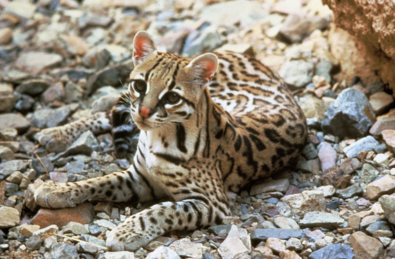 Jaguatirica. Foto: Tom Smylie (US Fish & Wildlife Service, Image Archive) [Public domain], via Wikimedia Commons