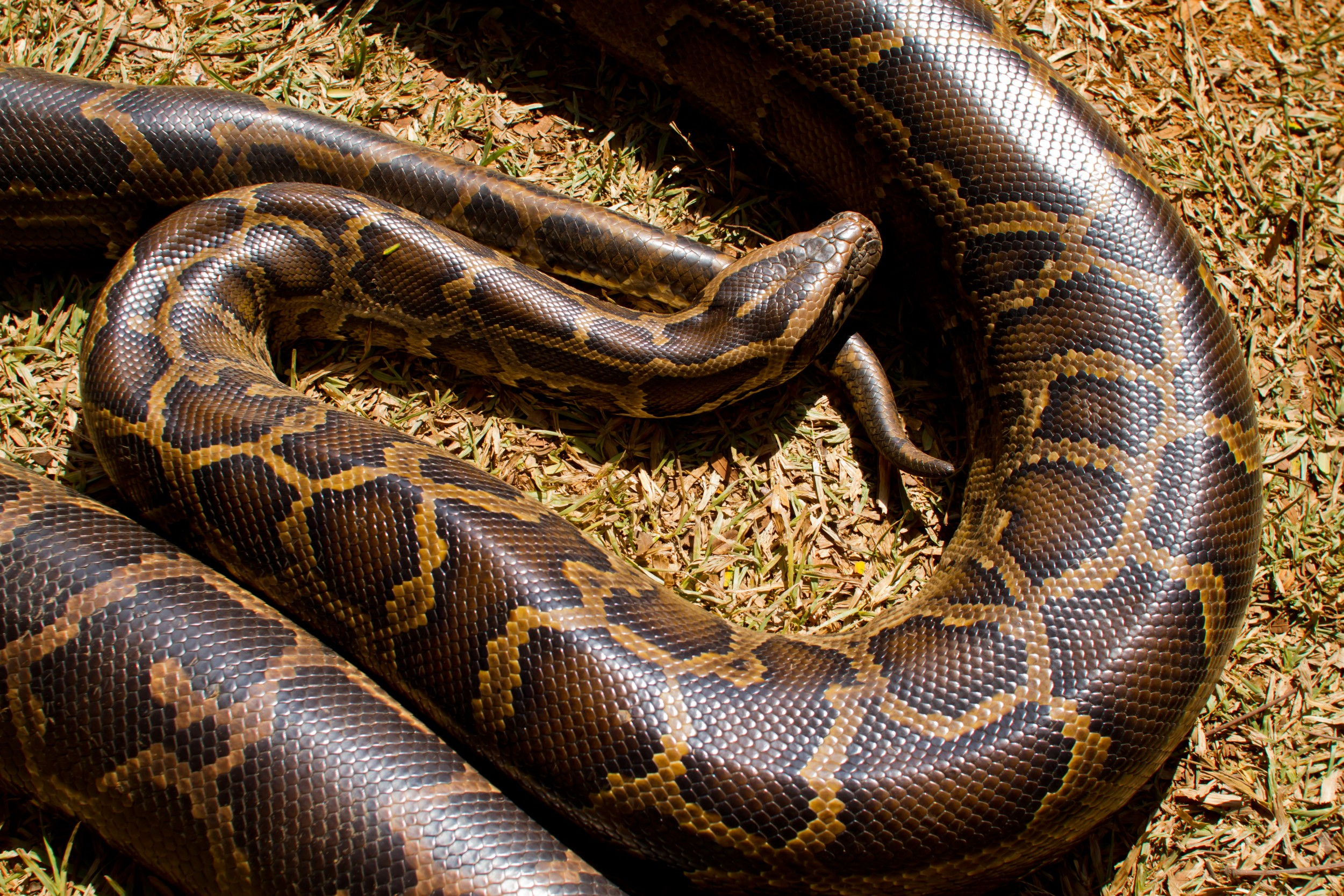Lo Verdad Te Ensena Principito likewise America Central 643 Especies De Aves 79 in addition Large Locusts 2035mm 100 Bag p24076448 besides Boa Constrictor Facts as well Snake Coloring Piocs. on boa constrictor