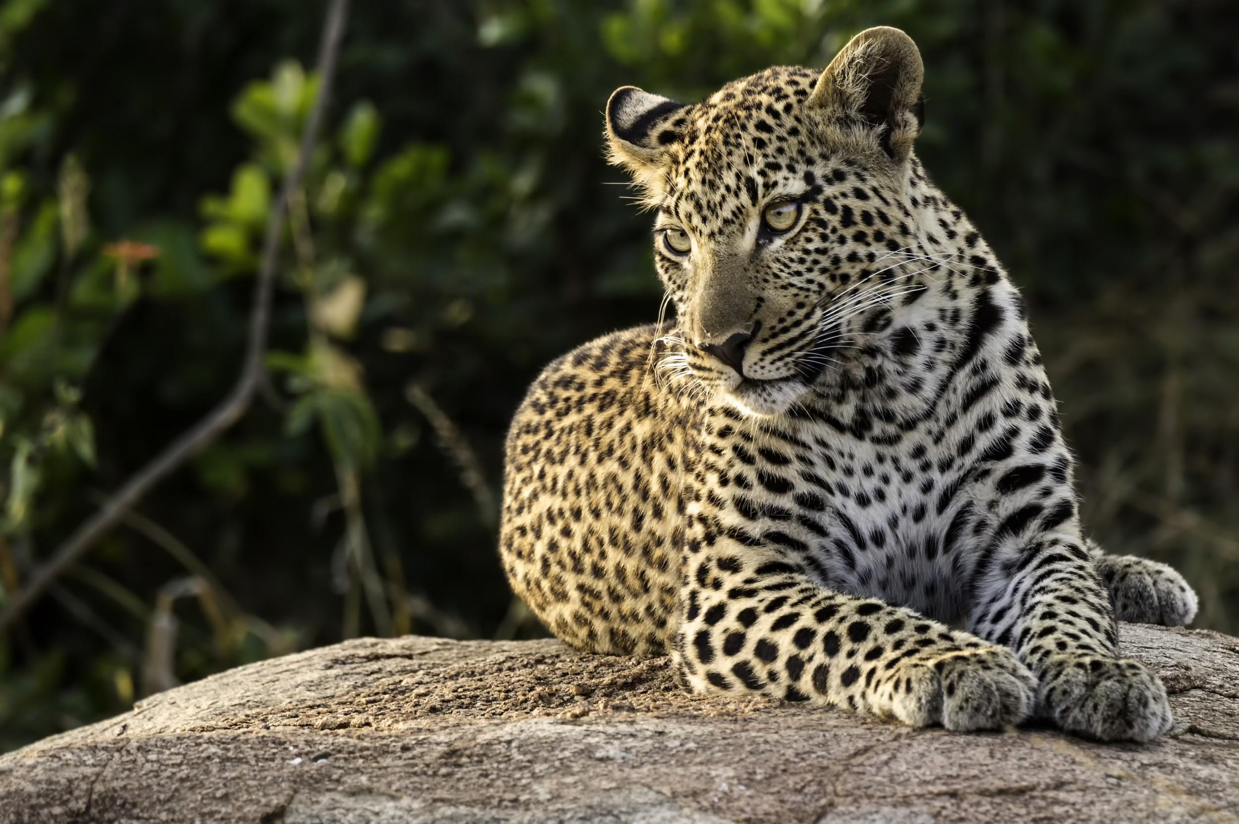 Leopardo ecologia caracter sticas fotos infoescola - Para ver fotos ...