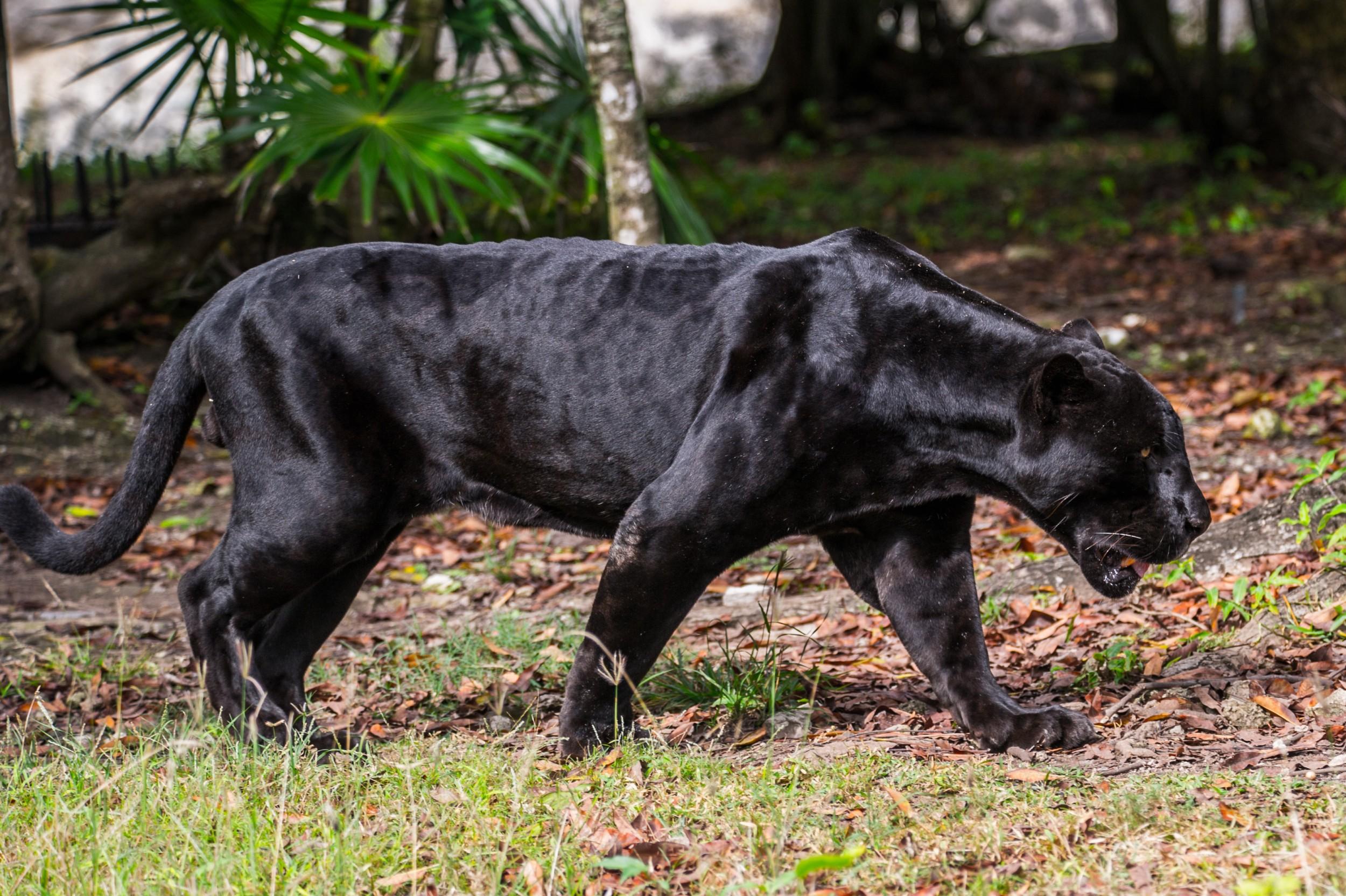 Pantera Negra: Ecologia, Características, Fotos