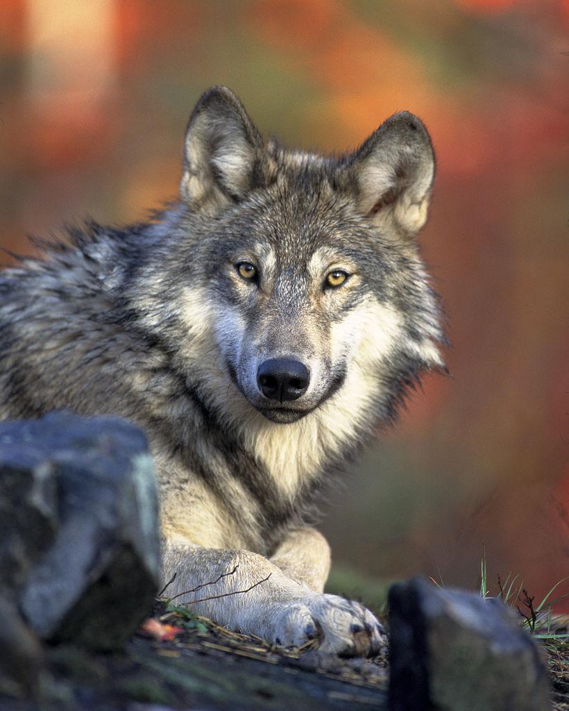 Canis lupus. Foto: Gary Kramer [Public domain], via Wikimedia Commons