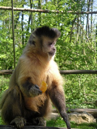 Macaco-prego. Foto:  Wikihobby [Public domain], via Wikimedia Commons