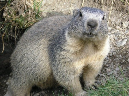 Marmota alpina. Foto: François Trazzi [GFDL or CC-BY-SA-3.0], via Wikimedia Commons