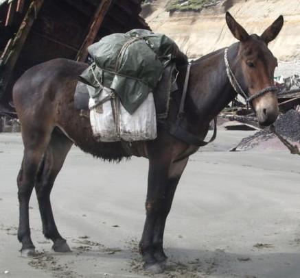 Mula é o híbrido entre um jumento e uma égua. (Foto: Wikimedia Commons [domínio público])