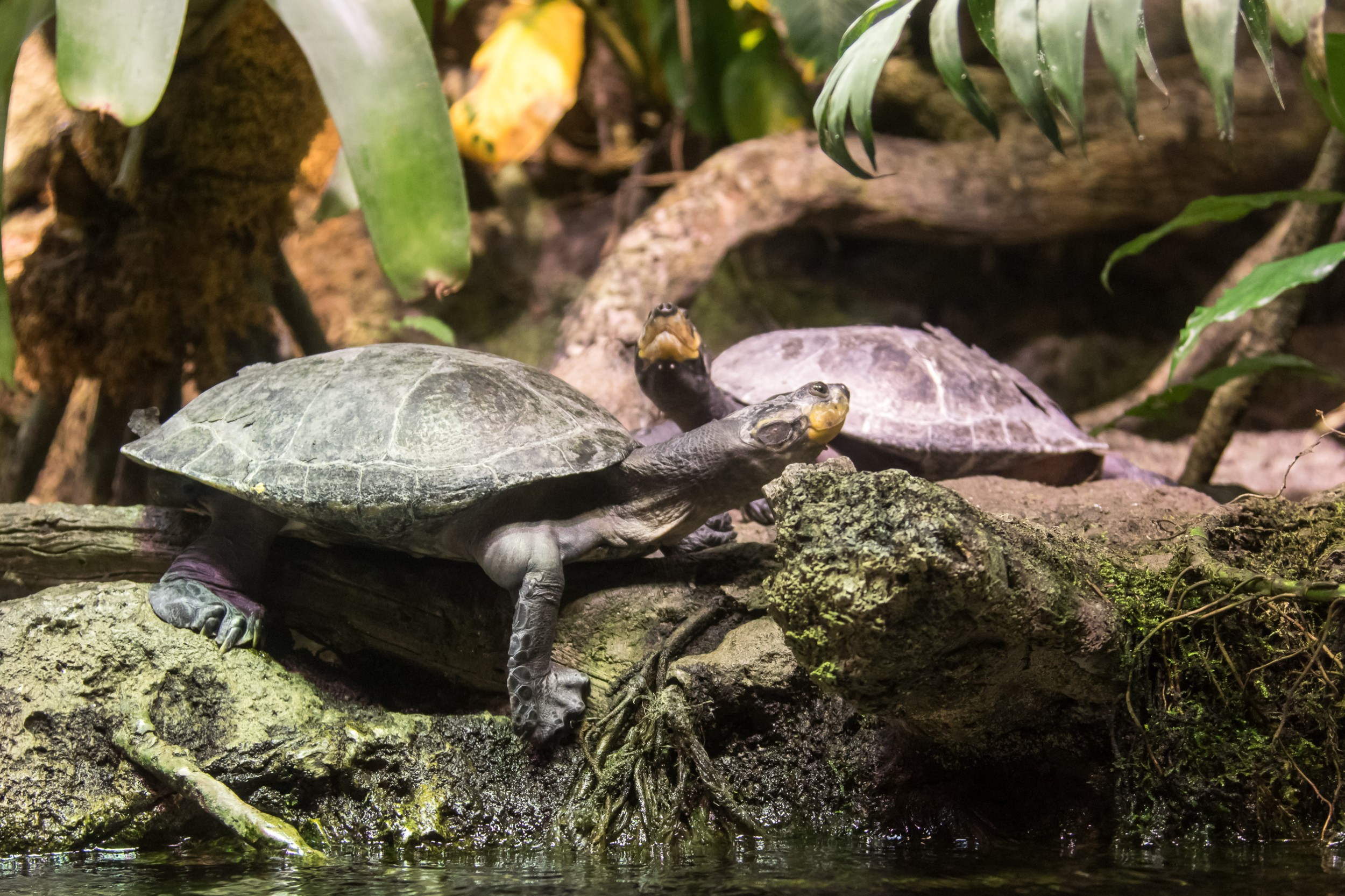 tartaruga da amazônia animais infoescola