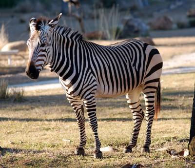 Zebra O Cebra Yahoo Zebra - espéci...