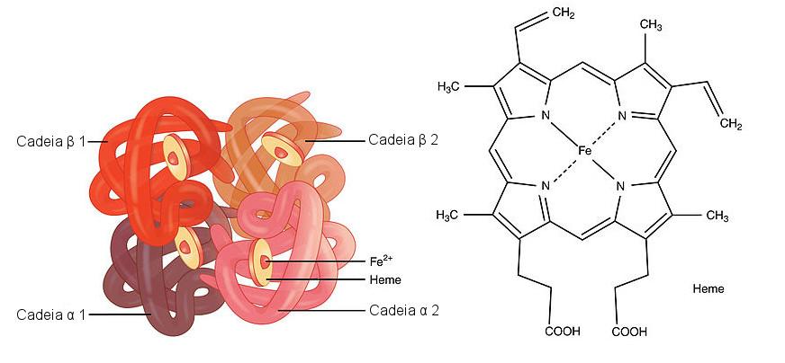 Molécula de hemoglobina e um grupo heme. Ilustração: OpenStax College [CC-BY-SA 3.0] / via CNX.org