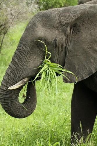 Elefante é um exemplo de animal herbívoro. Foto: Debbie Aird Photography / Shutterstock.com
