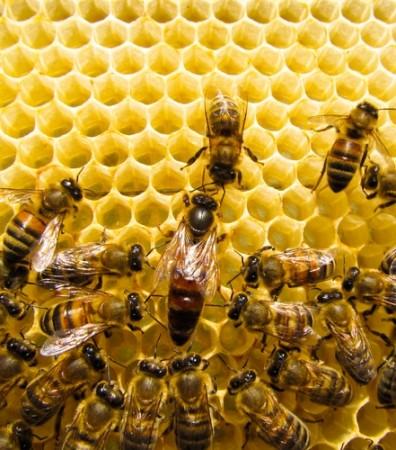 Abelha rainha e abelhas operárias. Foto: Lehrer / Shutterstock.com