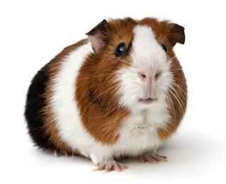 O porquinho-da-índia é muito utilizado como cobaia. Foto: Photok.dk / Shutterstock.com
