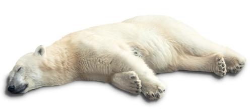 Urso polar hibernando. Foto: Coffeemill / Shutterstock.com