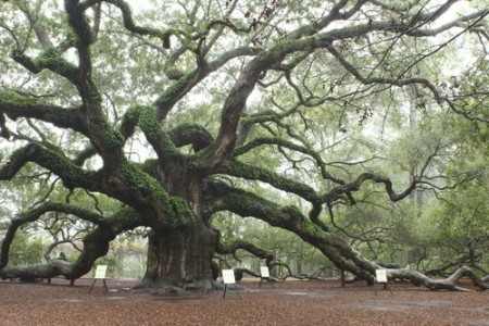 Angel Oak, um carvalho de aproximadamente 1400 anos localizado na Carolina do Sul, EUA. Foto: Lynn Whitt / Shutterstock.com