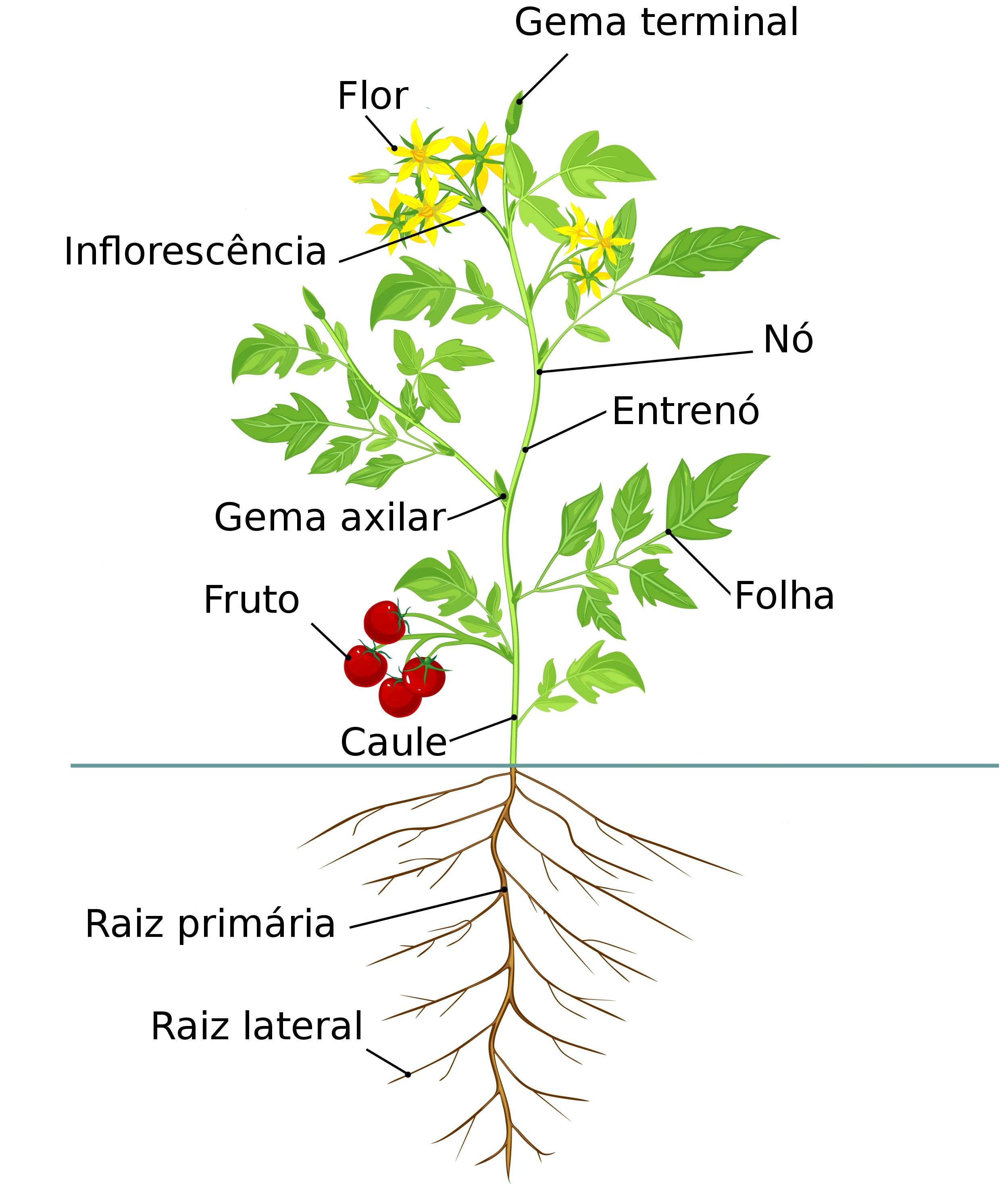 Caule - Partes das Plantas - Botânica e Biologia - InfoEscola db5f3f109a