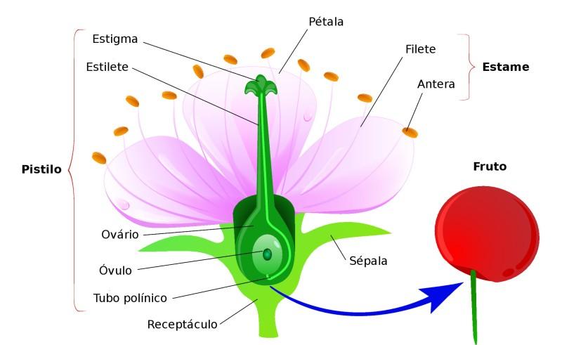 Estruturas de uma flor. Ilustração: Designua / Shutterstock.com [adaptado]