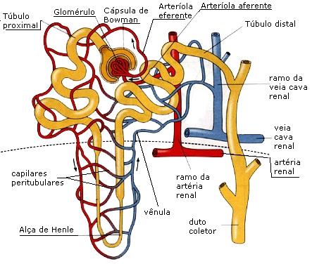 partes de um néfron - sistema excretor