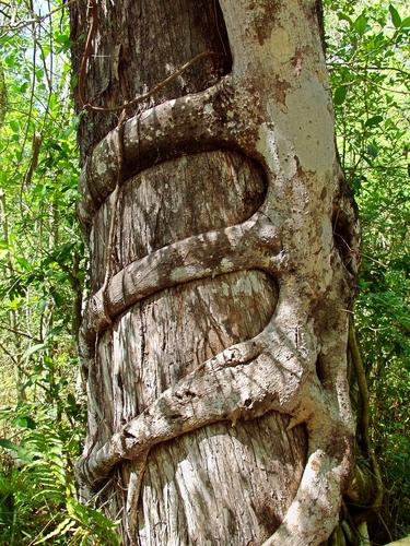 Figueira estranguladora em um Cipreste. Foto: Lee Prince / Shutterstock.com