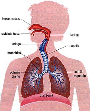 Órgãos do sistema respiratório