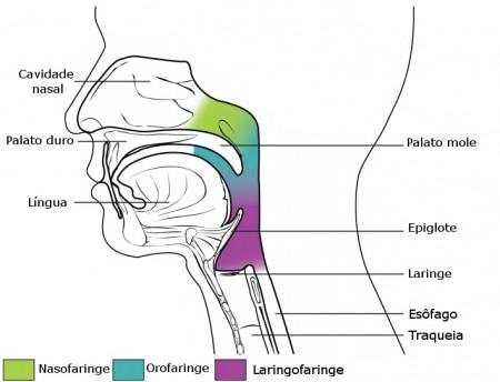 Anatomia da Faringe. Ilustração: OpenStax College [CC-BY 3.0] / via CNX.org