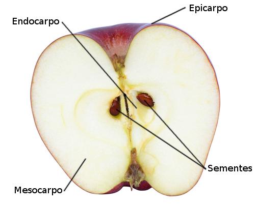 Partes do fruto. Foto: nednapa / Shutterstock.com [adaptado]