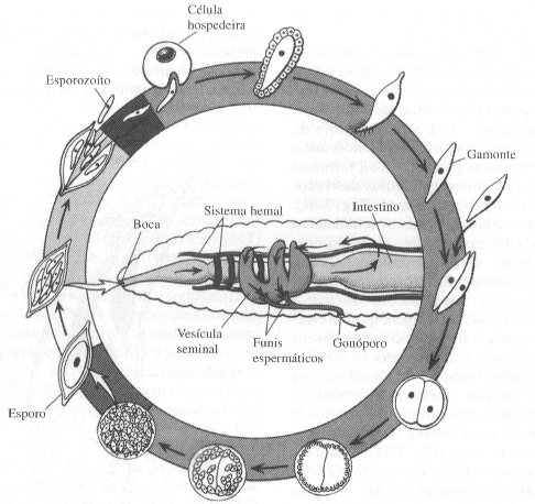 ciclo-vida-esporozoarios