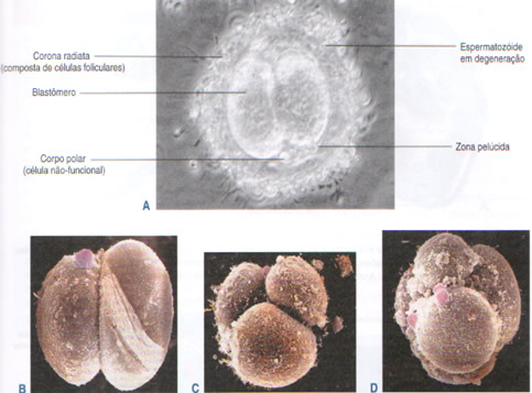 clivagem-blastogenese