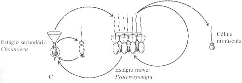 coanoflagelados3