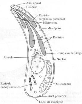 estrutura-apicomplexa-esporozoario